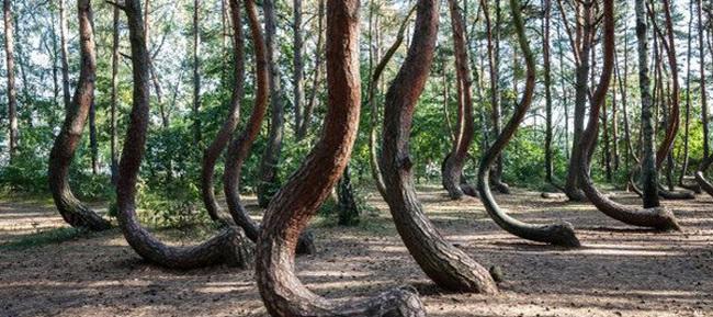 """Đi tìm nguyên nhân rừng cây cong """"độc lạ"""" ở Ba Lan - Ảnh 1."""