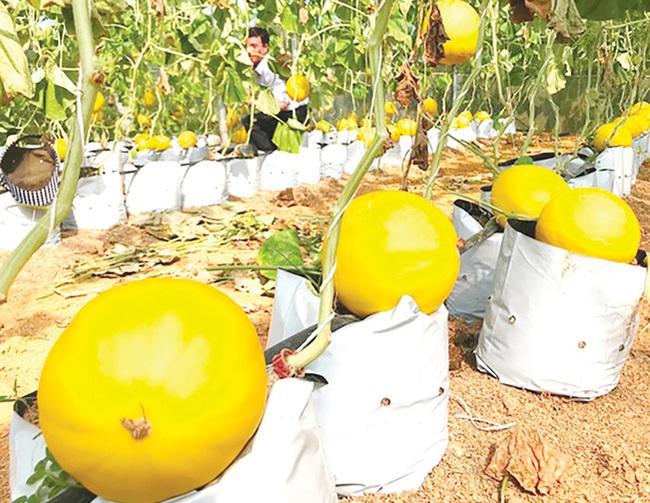 Bác sỹ xứ Thanh trồng dưa vàng óng thu 200 triệu/năm - Ảnh 1.