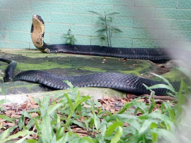 """Tận thấy 4 con rắn hổ chúa """"khủng"""" nhất trại rắn miền Tây"""