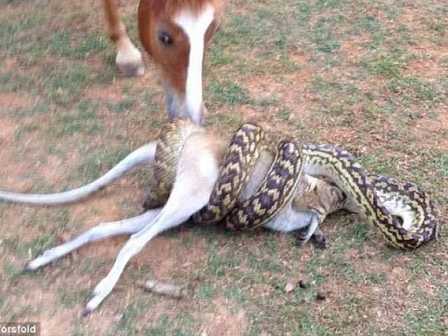 """Trăn khổng lồ nuốt chuột túi, ngựa đứng xem """"kinh ngạc"""""""