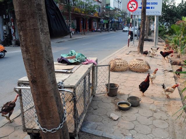Ảnh: Vỉa hè Hà Nội biến thành chuồng nhốt gà, trồng rau sạch