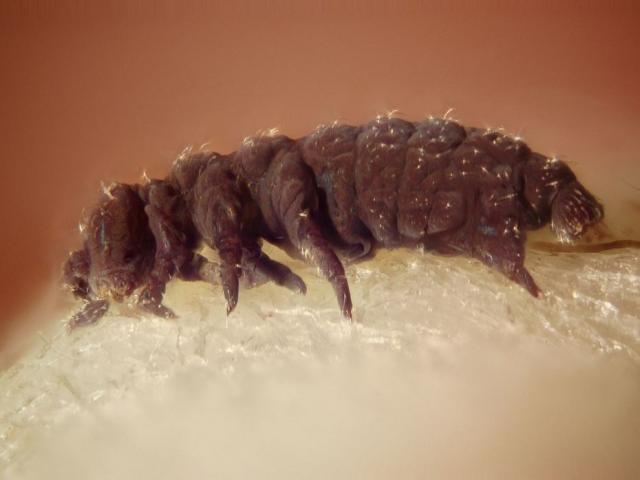 Sinh vật sống dai nhất Trái đất không thể chết?
