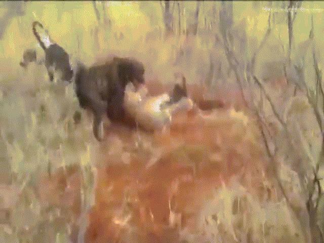Báo đốm bị đàn chó săn hung dữ cắn xé tơi bời