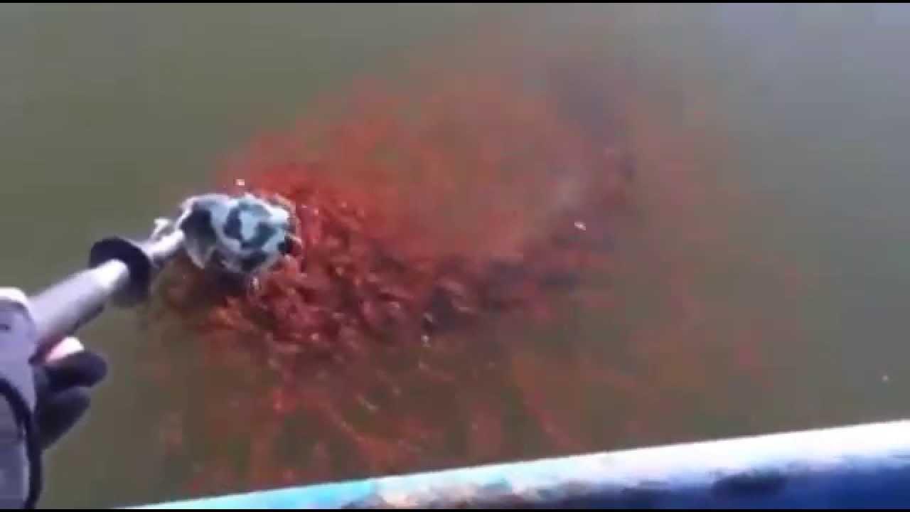 Clip cảm động đàn cá con lao vào cứu cá mẹ bị mắc câu