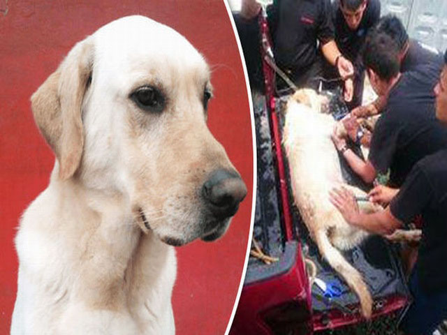 Chú chó cứu hộ chết vì kiệt sức sau khi cứu 7 người
