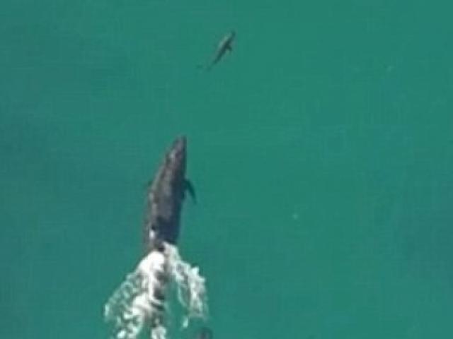 Video: Cá heo truy đuổi, ngoạm chết cá voi sát thủ
