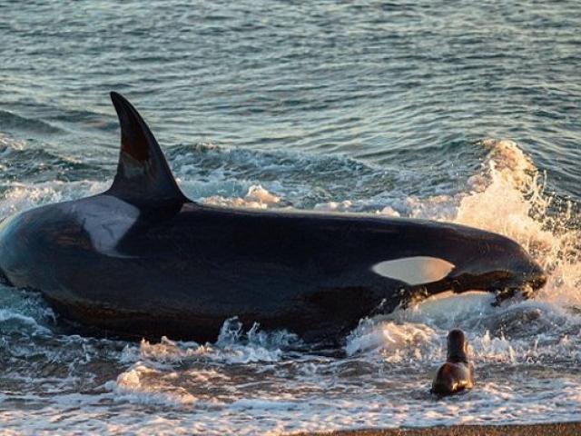 Cá voi sát thủ đồ sộ lao lên bờ bắt sư tử biển