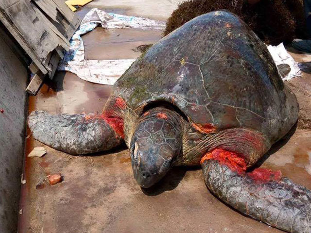 Rùa biển quý hiếm nặng hơn 70kg dạt bờ biển Nam Định