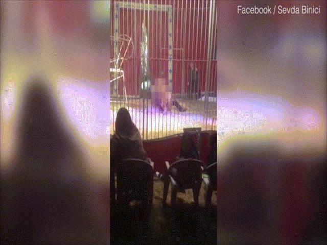Pháp: Sư tử cắn cổ người, lôi xềnh xệch trong rạp xiếc