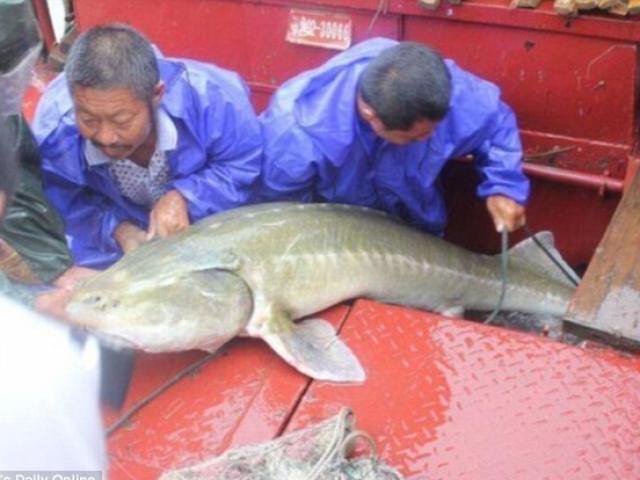 """TQ: Bắt được cá thuộc loài """"cùng thời với khủng long"""""""