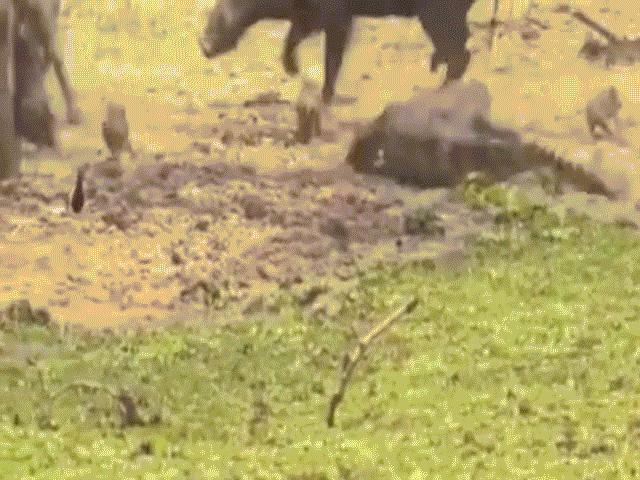 Thấy cá sấu đớp con, lợn rừng bố mẹ tung đòn mãnh liệt