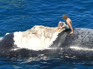 Nghịch dại cưỡi xác cá voi trêu đùa cá mập