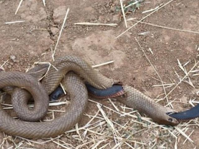 Hoảng hốt khi phát hiện 2 con rắn ăn thịt lẫn nhau