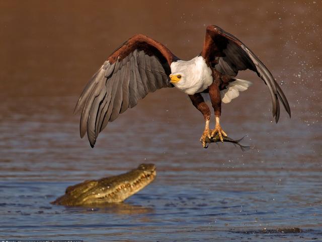 Đại bàng dũng mãnh cướp mồi trước mũi cá sấu