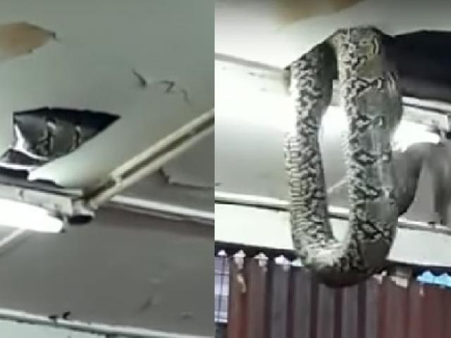 Đang ăn tối ở nhà hàng bỗng thấy rắn khổng lồ trên đầu