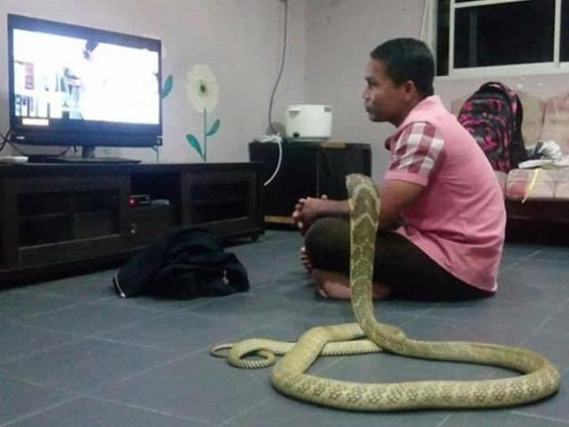 Chàng trai cưới rắn hổ mang khổng lồ làm vợ