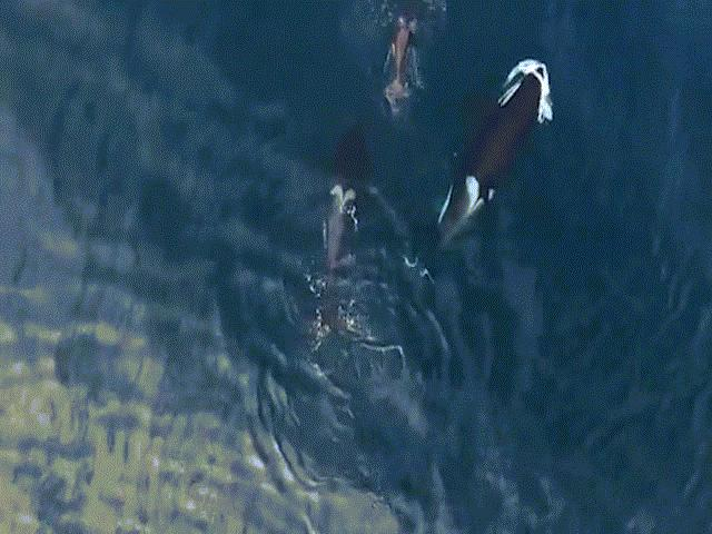 "Cận cảnh cá voi sát thủ ""ăn tươi nuốt sống"" cá mập"