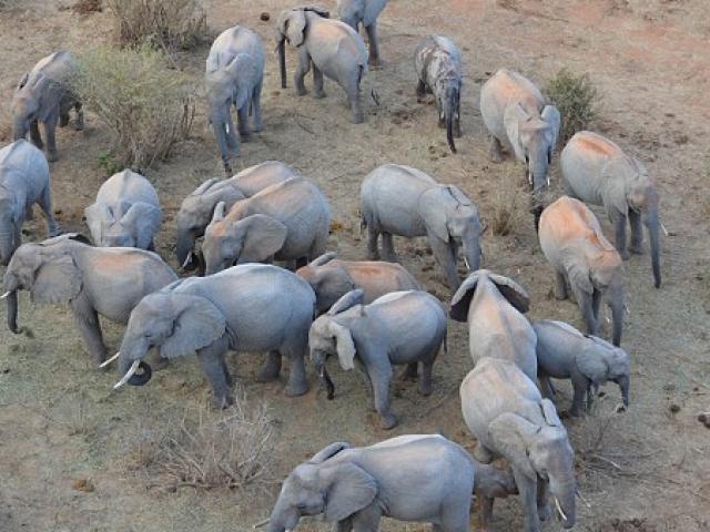 Người đàn ông Kenya ngủ cùng 60 con voi mồ côi
