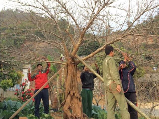 Chiêm ngưỡng cây đào mọc từ thân cây cổ thụ hiếm thấy
