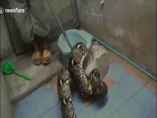 Thái Lan: Hoảng sợ phát hiện trăn dài bằng 2 tầng nhà nấp trong toilet