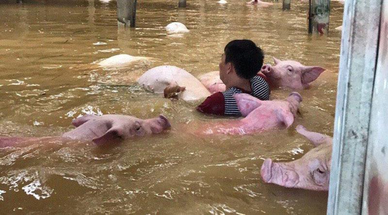 Người dân tìm mọi cách di chuyển lợn đến nơi cao hơn nhưng lực bất tòng tâm. Những con lợn bơi trong nước lũ. Ảnh: Ngọc Cương