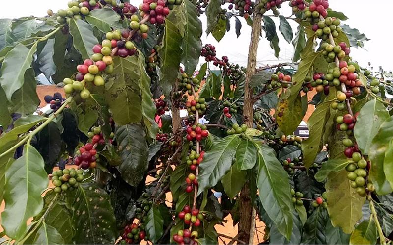 Những cây cà phê đẹp, sai trĩu qủa được trưng bày, giới thiệu, quảng bá hình ảnh cho du khách gần xa chiêm ngưỡng