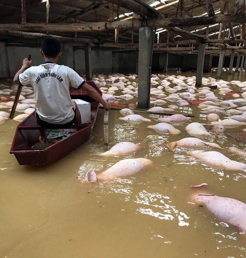 Ngày 12.10, sau 1 ngày trang trại ngập sâu, hàng ngàn con lợn chết nổi trắng chuồng. Ảnh Ngọc Cương