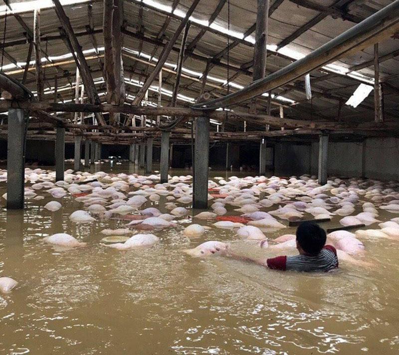 Hình ảnh lợn chết đuối nổi trắng chuồng được chia sẻ chóng mặt trên mạng xã hội, khiến nhiều người xót xa. Ảnh: Ngọc Cương