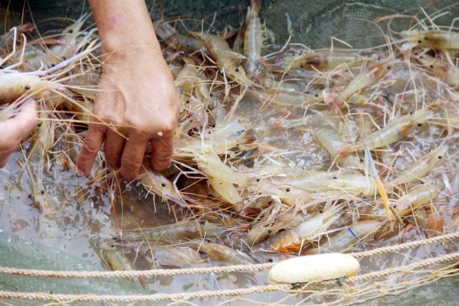 Xuất bán khi tôm đạt trọng lượng 20-25 con/kg.