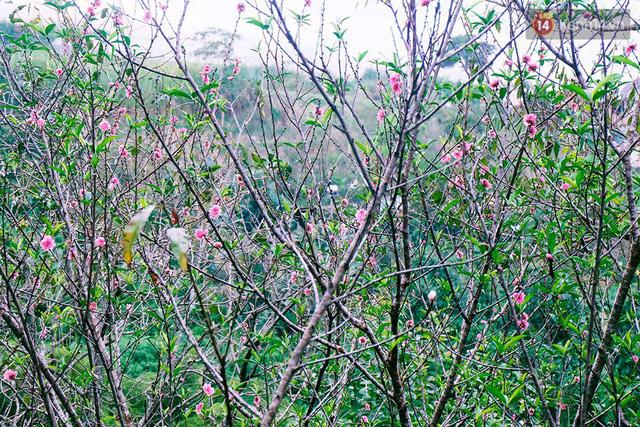 Hoa đào nở sớm ở Tùng - Hạ.