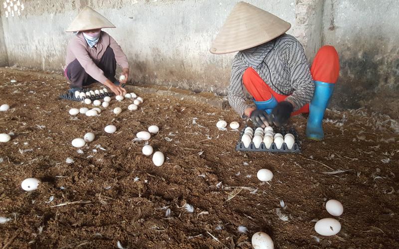 Công nhân đang thu trứng vịt