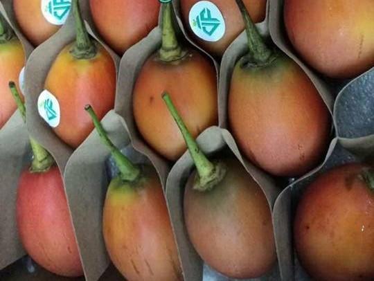 Cà chua thân gỗ độc lạ xuất hiện tạo nên cơn sốt được mọi người tranh nhau đặt mua dù giá lên tới 1 triệu đồng/kg.