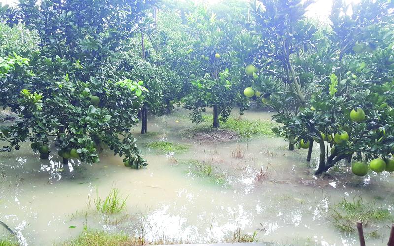 Phương pháp phục hồi vườn cây ăn trái khi bị ngập lũ