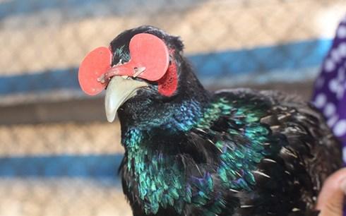 Chim trĩ xanh được đeo kính nhựa.