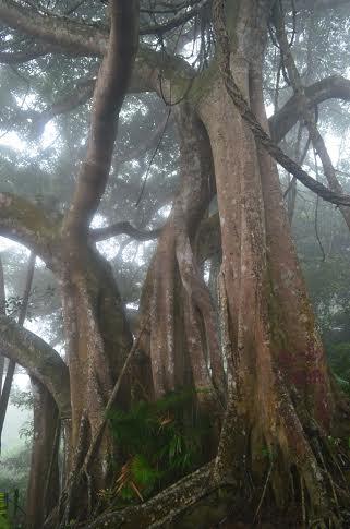 Cây có kích thích rất lớn, chia ra làm nhiều thân cây phụ.