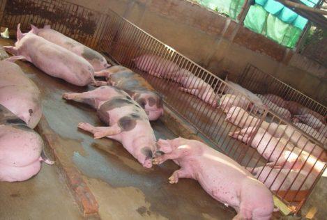 Lợn nuôi bằng chất tạo nạc phản xạ chậm, chỉ nằm im và thở.