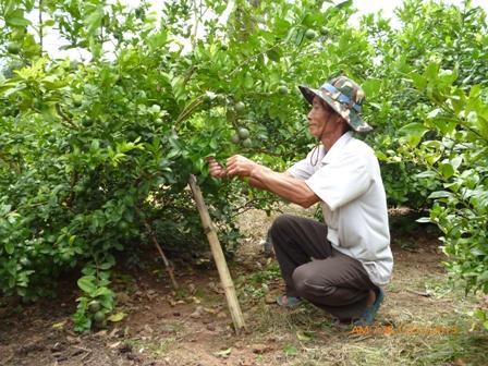 Kỹ thuật trồng cây chanh không thể thiếu khâu chăm sóc và phòng trừ sâu bệnh.
