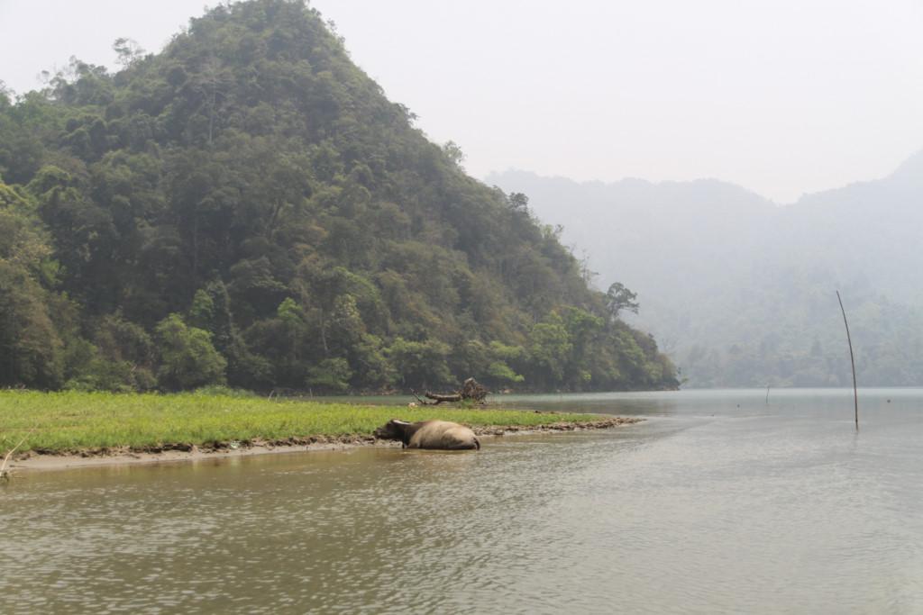 Xung quanh hồ có rất nhiều ruộng lúa của đồng bào Tày canh tác. Không khó bắt gặp những chú trâu khoan thai đằm mình ở những góc hồ cạn nước.