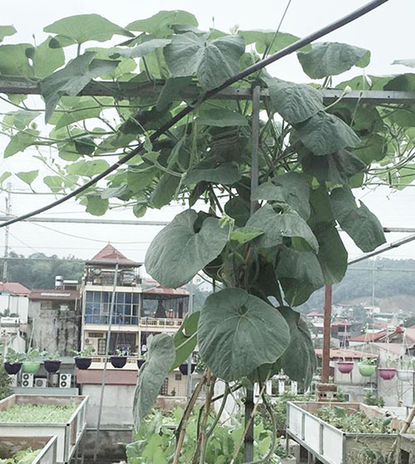 Với các loại cây leo, chị Nguyệt Anh áp dụng phương pháp gieo trồng riêng biệt.