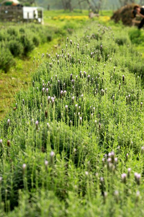 Nhưng thời gian gần đây, oải hương đã được trồng thành công ở Việt Nam. Trước đó, hoa phát triển tốt ở Đà Lạt, Lâm Đồng.