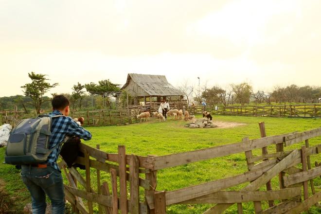 Ngoài oải hương, khu vườn có một đàn cừu và nhiều loại hoa khác để du khách thoải mái chọn góc, tạo dáng.
