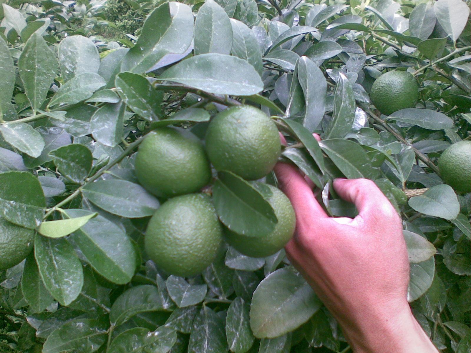 Kỹ thuật trồng cây chanh đơn giản, dễ chăm sóc.