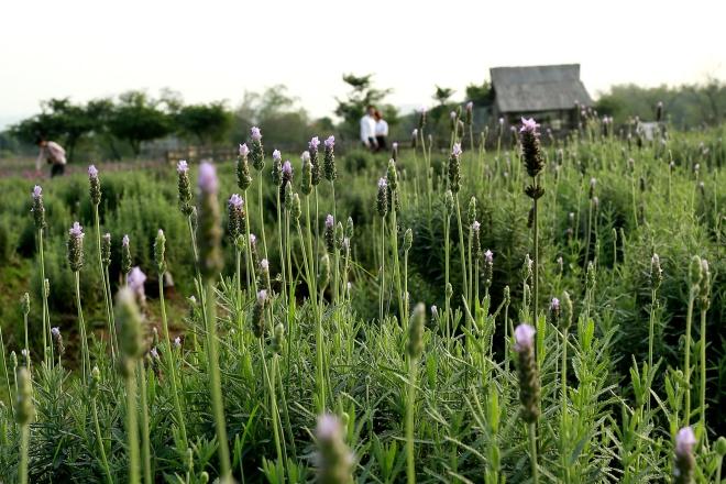 Hoa có hương thơm nhẹ, quyến rũ, đặc biệt có khả năng đuổi côn trùng và muỗi. Loài hoa này vốn chỉ có ở châu Âu như Pháp, thích hợp với thời tiết khô, lạnh.