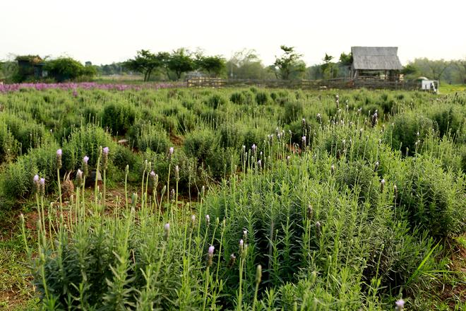 Vườn oải hương đang được nhiều người yêu hoa chia sẻ thời gian gần đây nằm ở Thảo Nguyên Hoa, địa chỉ Thạch Cầu, Long Biên, Hà Nội.