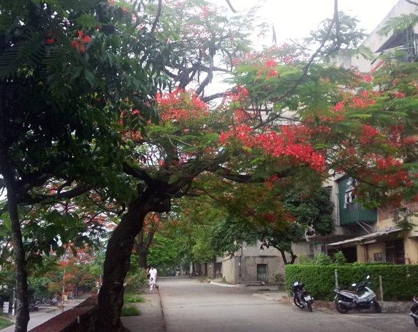 Những con phố rực màu hoa phượng đỏ (ảnh: BVP)