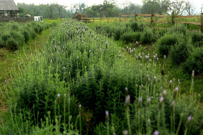 Chủ vườn cho biết diện tích trồng oải hương hiện khoảng 1.500 m2, hoa được nhân giống từ Đà Lạt, gồm 2 loại Lavandula dentata, Lavandula 'Goodwin Creek Grey' (một loại vòi dài và một loại vòi ngắn).