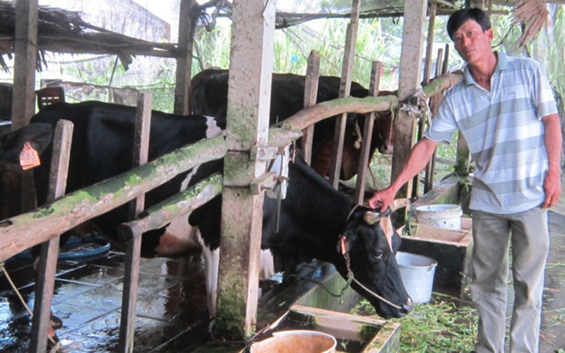 Mô hình nuôi bò sữa ở xã nông thôn mới Đại Tâm đang cho hiệu kinh tế khá cao.