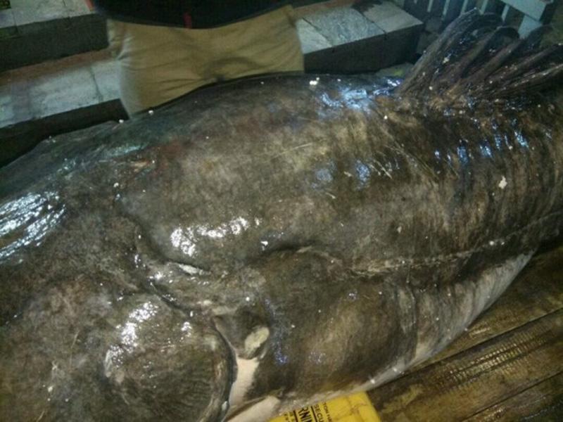 """""""Con cá lăng đen nặng 120kg, dài 2,3m. Ngư dân đánh bắt được con cá lăng trên sông Mê Kông (đoạn chảy qua Campuchia) sau đó bán lại cho chúng tôi với giá 80 triệu đồng"""", Chủ nhà hàng cho biết."""