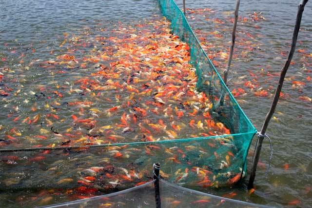 Nếu không canh chừng, nguồn nước độc hại, ô nhiễm sẽ giết chết đàn cá. Ảnh: T.Tuấn