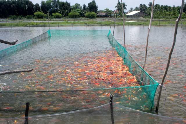 Một ao nuôi cá cảnh của ông Phong. Ảnh: T.Tuấn